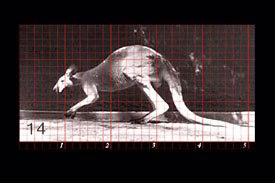 The Grid view (and frame counter) within the Locomotion section, showing the walk cycle of a kangaroo.