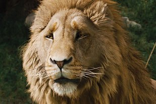CGI and animatronic creations followed parallel paths based on concept art. R&H gave its digital model of Aslan to KNB which used it to create a lifesize form to use for its animatronic lion.