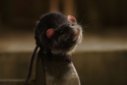 Tippett Studios previous experience creating furry animals gave it an advantage when working on Templeton. The challenge on Charlottes Web was to make a photoreal rat that could act and emote. Courtesy of Tippett Studio.