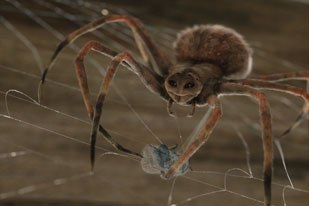 RSP had the role of creating lead character Charlotte. A team of 65 artists delivered 242 shots of the spider and her magnificent webs that comprised approximately 23 minutes of screen time. Courtesy of RSP.