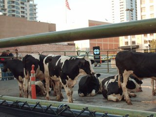 Cows were used to publicize the new J.J. Abrams TV show Fringe. Courtesy of Janet Hetherington.