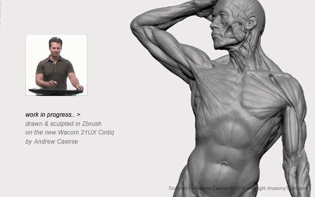 Anatomy image sketched & sculpted in ZBrush on the new 21UX Cintiq by Andrew Cawrse. All images courtesy of Anatomy Tools.com.