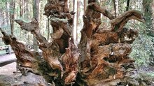 Mysteries Entombed within the Redwoods Realm: Part 2